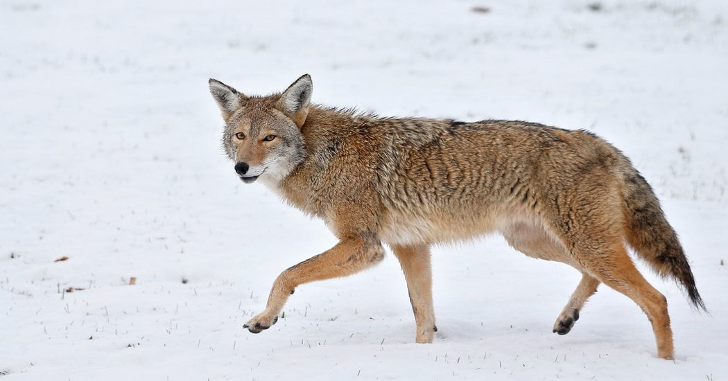 Attacks by Urban Coyotes Are Rare, but Frightening
